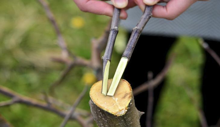 Прививка плодовых деревьев черенками