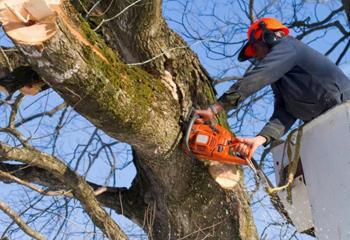 Формовочная обрезка деревьев