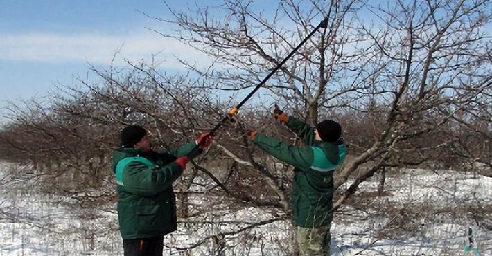 Омолаживающая обрезка вишни и декоративных яблонь на участке в Ивановском
