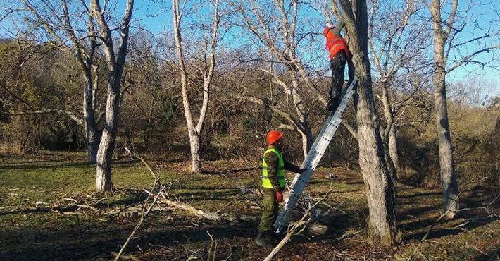 Очистка сада от сухостоя в деревне Чашниково